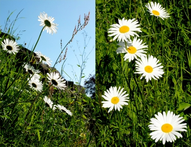 moon daisies