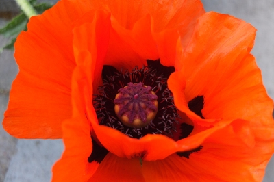 Giant poppy close up