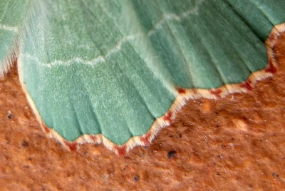 Detail of wing of aquamarine coloured moth
