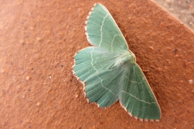 Aquamarine /blue-green coloured moth