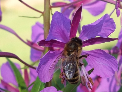 Close up of honey bee on rosebay willow herb flower.
