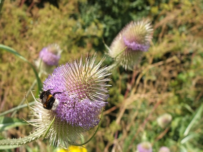 white-bottomed bumble  bee on teasel