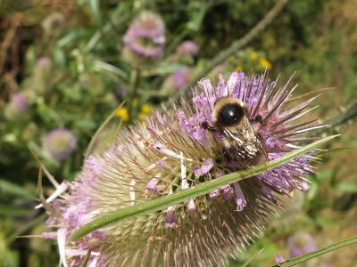 yellow/beige bumble  bee on teasel
