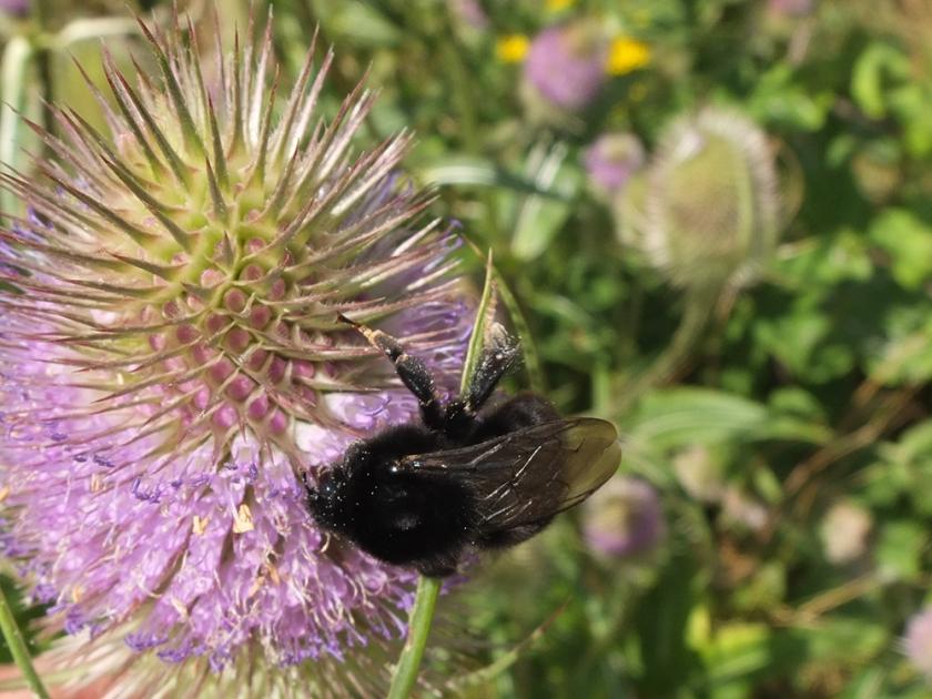 black bumble bee on teasel
