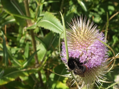 orange-bottomed bumble  bee on teasel