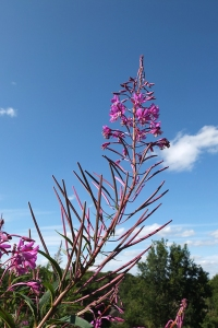rosebay willow herb flower spike