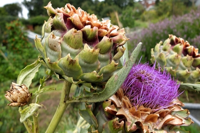 artichoke after flowering and flower head