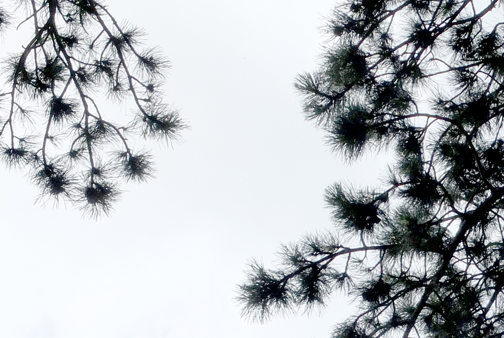 pine branches against white sky