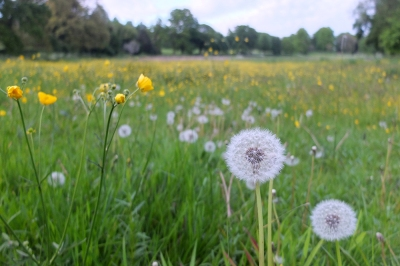 English meadow buttercups and dandelions