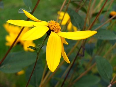 yellow daisy-type flower
