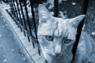 Blue-toned photo of ginger cat looking through iron railings