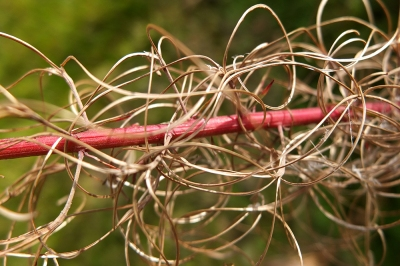 Tangled  rosebay willow herb after seeding