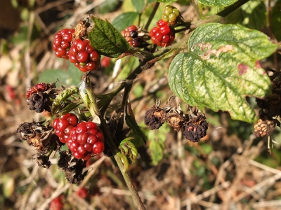 stunted and withered blackberries
