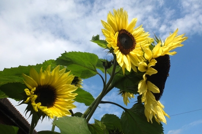sunflowers against cloudy blue sky