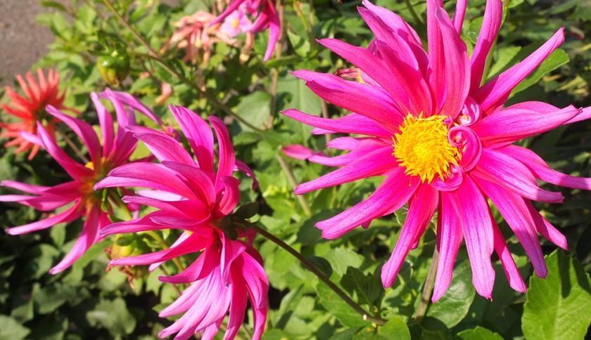 spiky pink dahlia