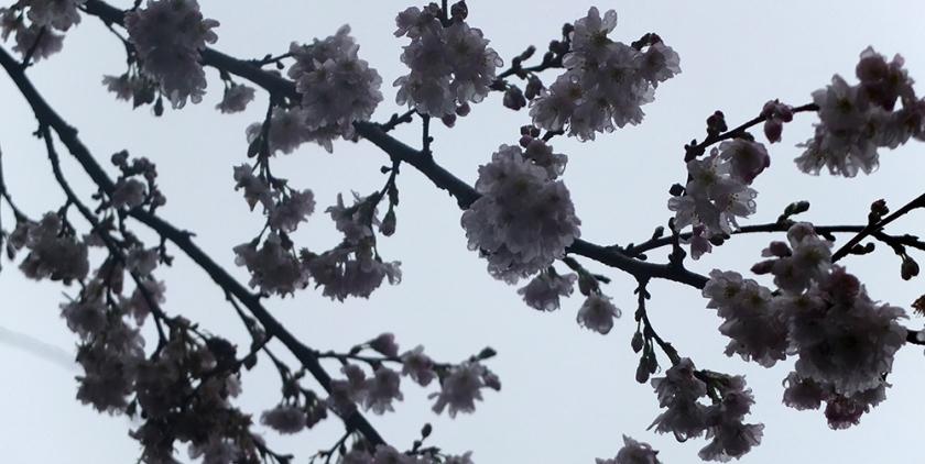 grey blossom against grey sky