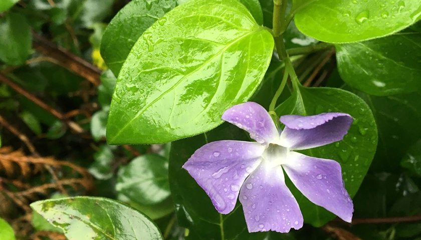 periwinkle flower and leaves