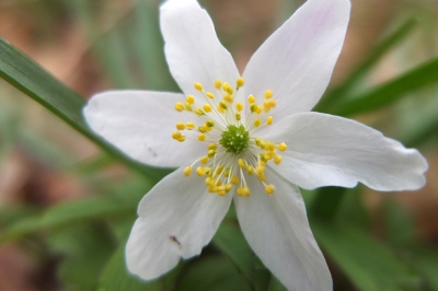 wind flower; wood anemone