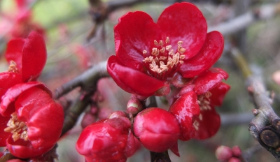 coral red japonica flowers