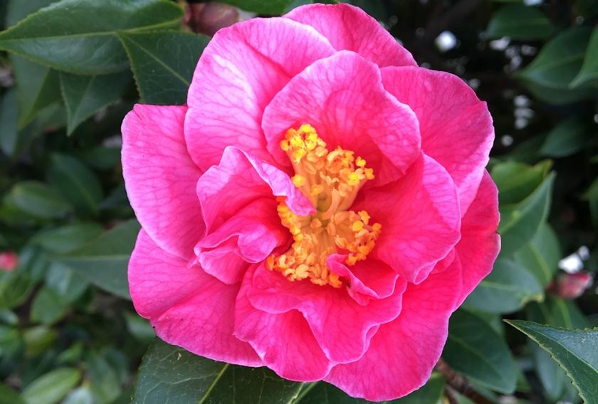 pink camellia bloom