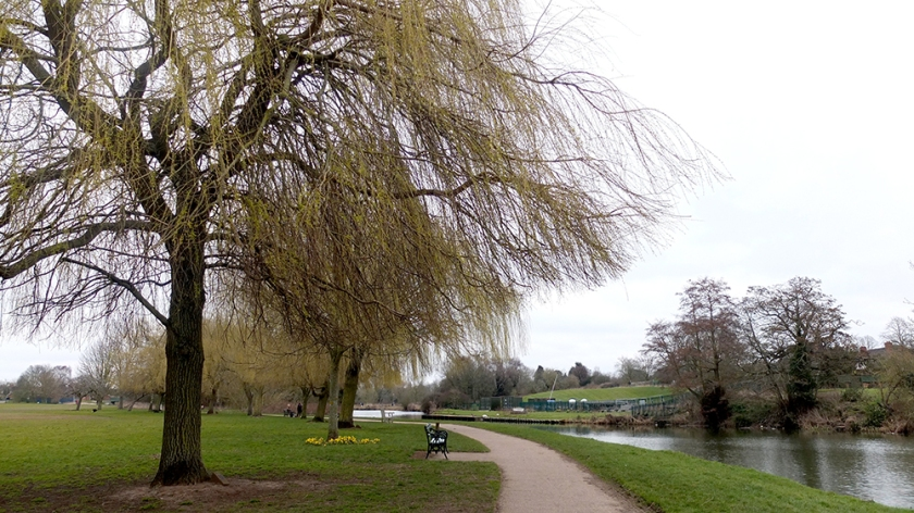 Willow trees in spring time