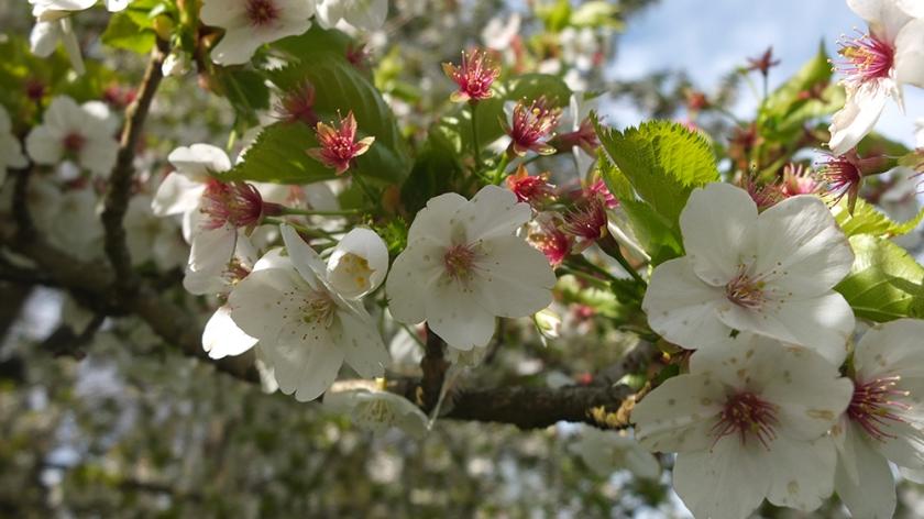 White tree blossom. April 2016 UK. Midlands