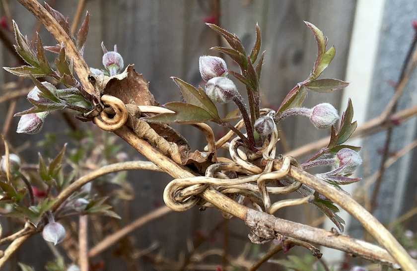 clematis - old tendrils and new shoots