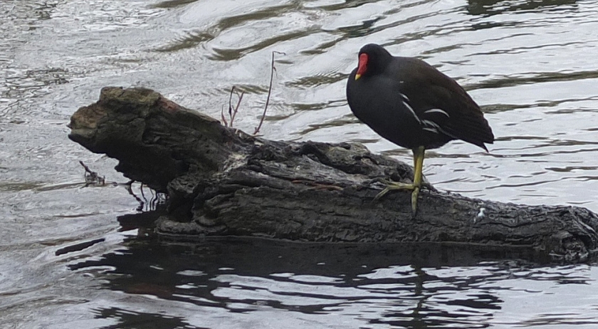 moorhen on a log in the river