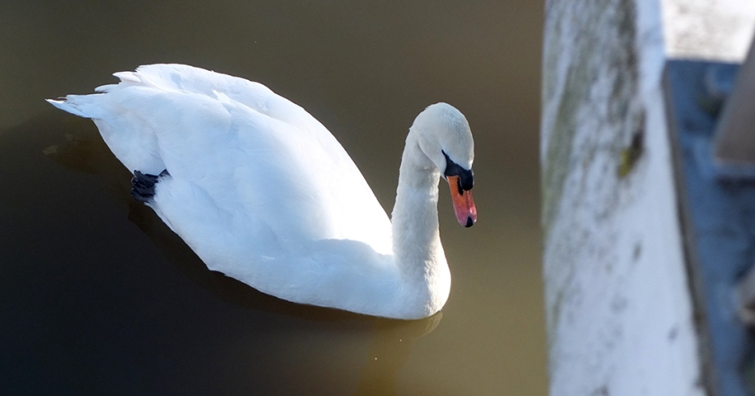swan on the River Avon