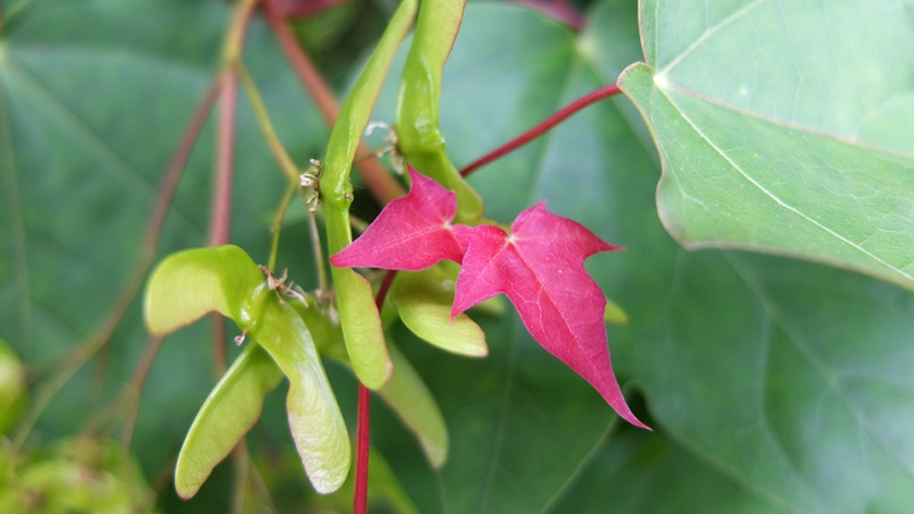 sycamore style seeds and young red leaves