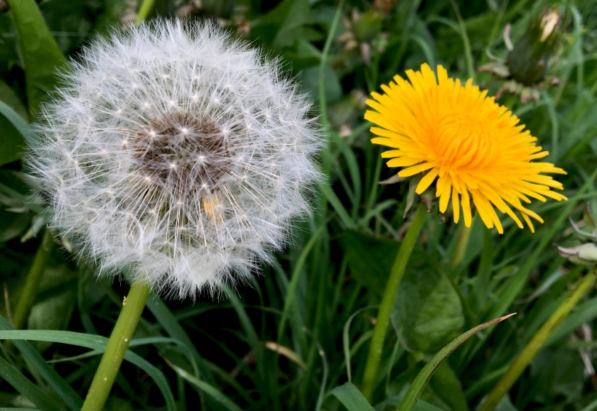 Dandelion clock and dandelion full flower