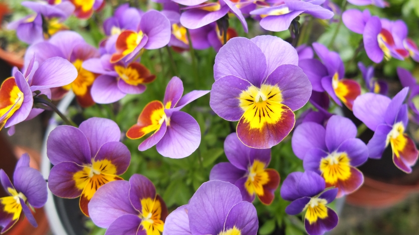 purple violas or miniature pansies
