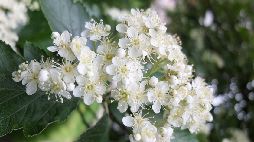 Probably whitebeam  flowers.