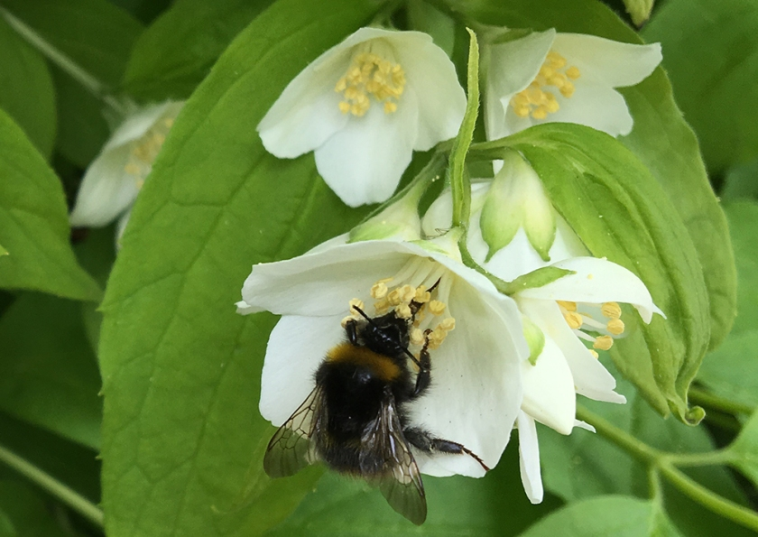 bumble bee on mock orange blossom