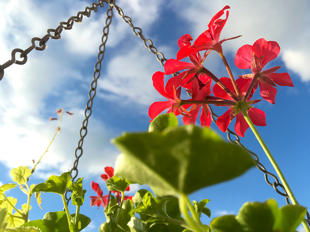 red geranium; blue sky; white clouds; chains