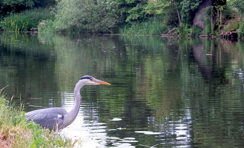 Heron on river bank