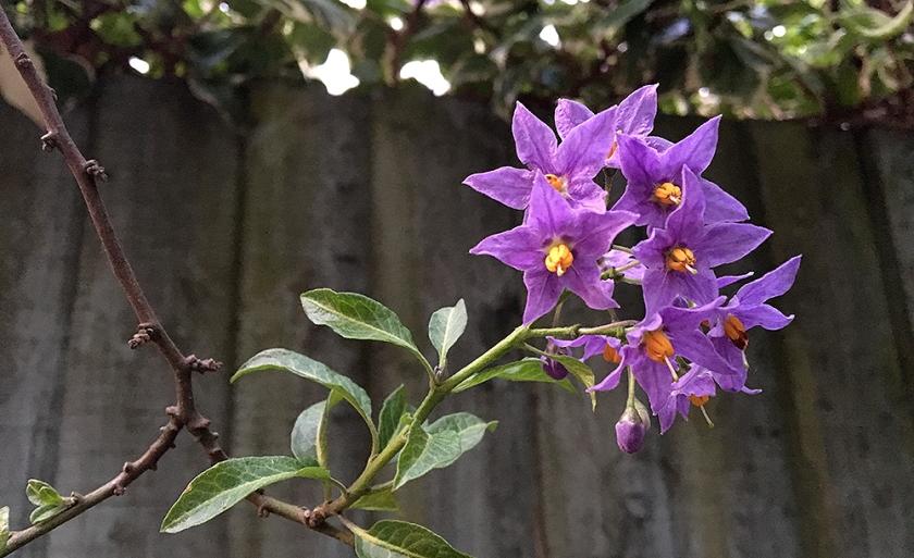 small purple star-shaped flowers similar to nightshade