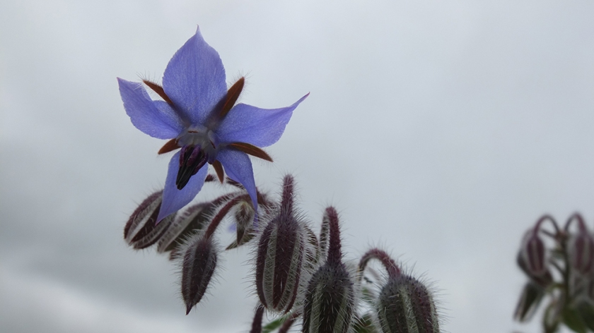 borage flower against a grey sky