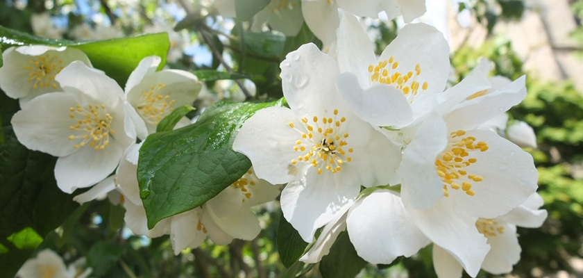 mock orange blossom close up