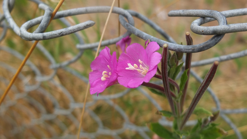 rosebay willow herb and chain link fence