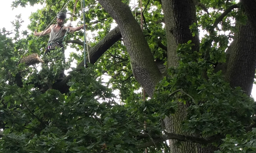 council employee pruning old  tree to make it safe