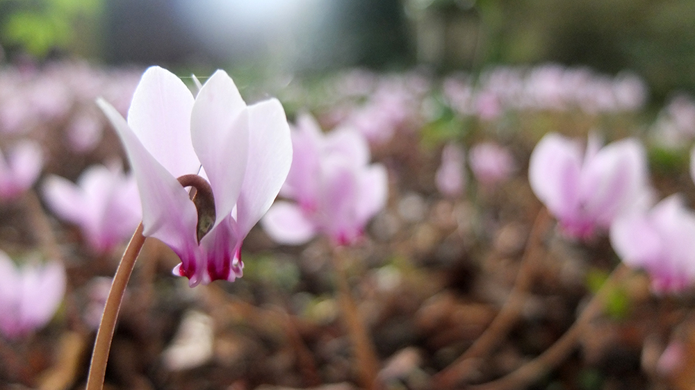 pale pink outdoor cyclamen