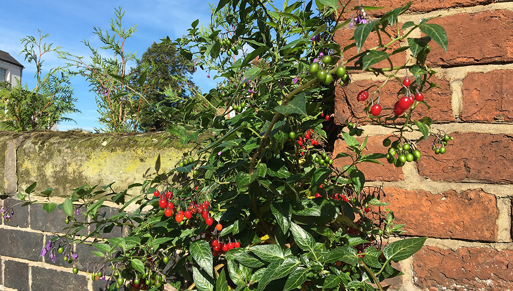 nightshade plant with red berries