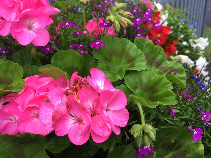 pink geranium and other flowers