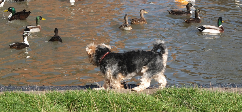 dog watching ducks on the canal