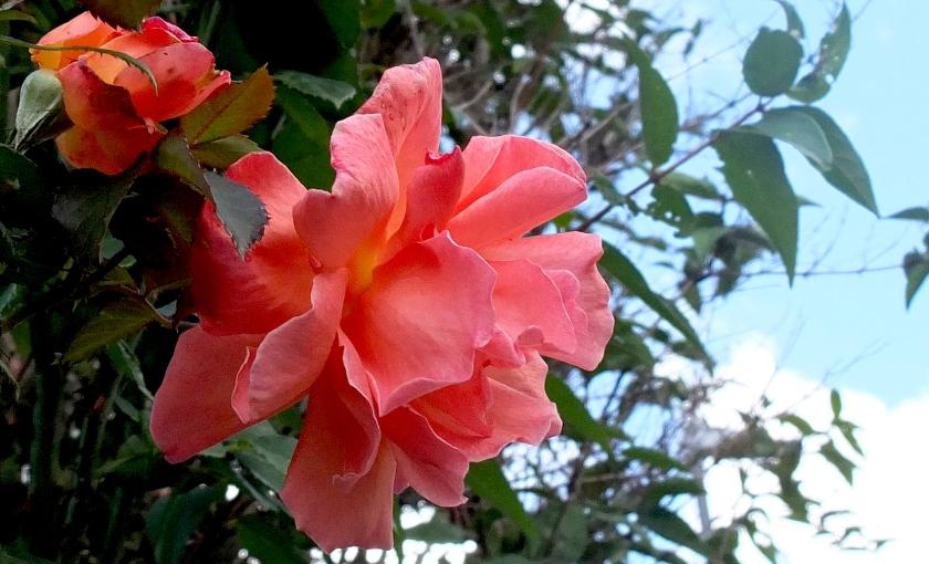 full-blown peachy-pink rose