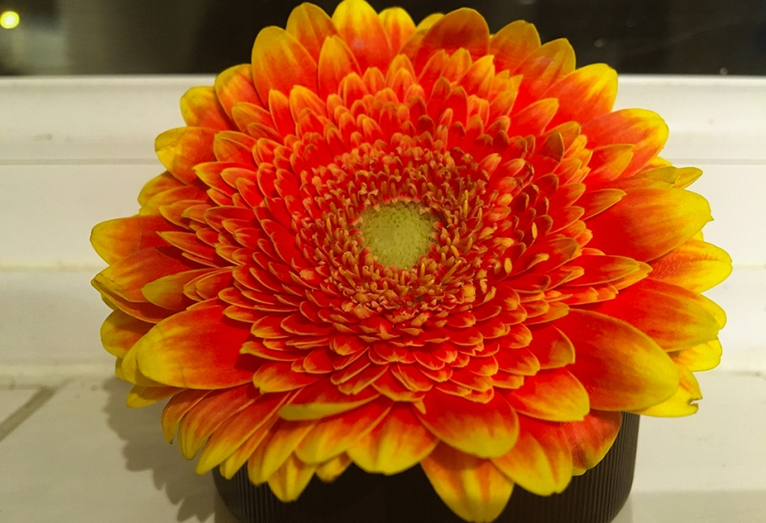 orange and yellow gerbera