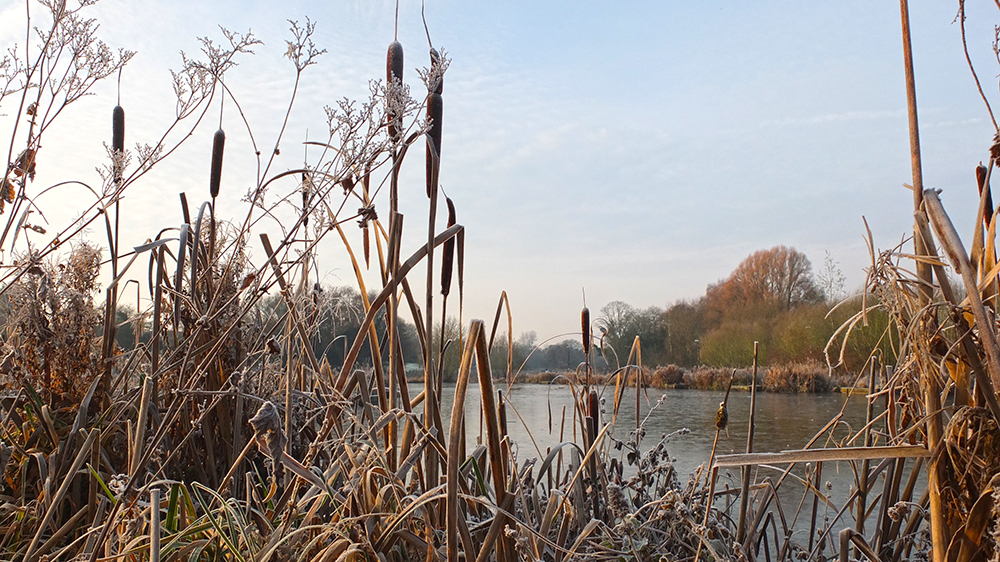 bullrushes on edge of frozen pond