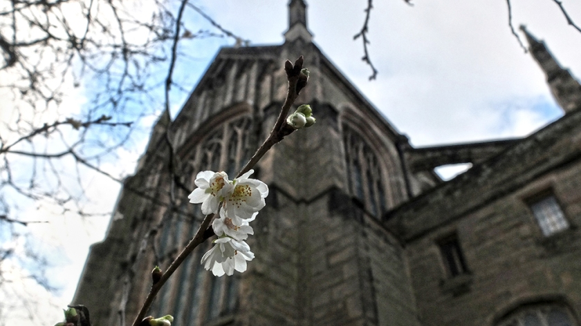 White blossom with church behind