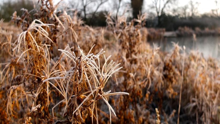 frosted rosebay willowherb seeds